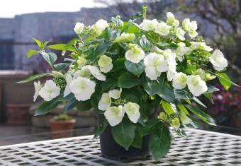 New Hydrangea and ecological strawberry win at the FLORALL awards